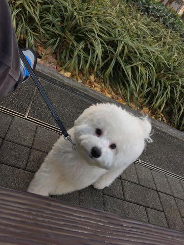 ビションフリーゼ子犬フントヒュッテこいぬ家族募集里親関東_2717.jpg