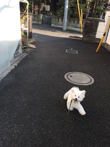 ビションフリーゼ子犬フントヒュッテこいぬ家族募集里親関東_2718.jpg