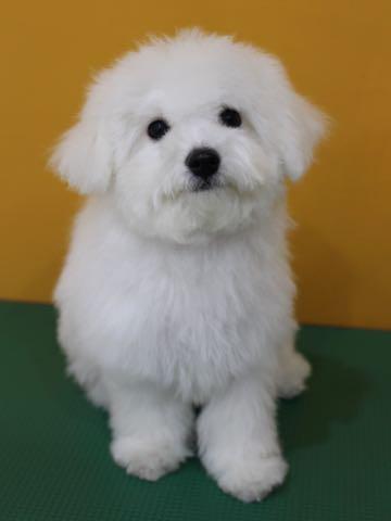 ビションフリーゼ子犬フントヒュッテこいぬ家族募集里親関東_2719.jpg