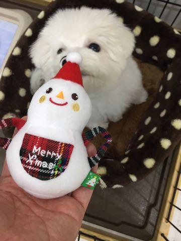 ビションフリーゼ子犬フントヒュッテこいぬ家族募集里親関東_2722.jpg