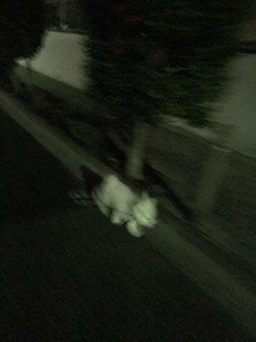 ビションフリーゼ子犬フントヒュッテこいぬ家族募集里親関東_2723.jpg