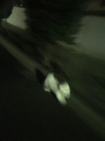 ビションフリーゼ子犬フントヒュッテこいぬ家族募集里親関東_2724.jpg