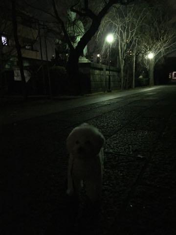 ビションフリーゼ子犬フントヒュッテこいぬ家族募集里親関東_2726.jpg