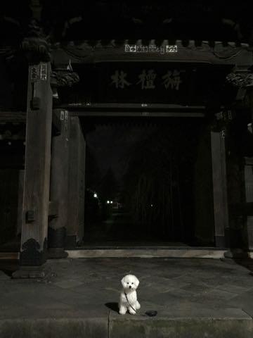 ビションフリーゼ子犬フントヒュッテこいぬ家族募集里親関東_2728.jpg