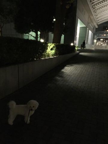 ビションフリーゼ子犬フントヒュッテこいぬ家族募集里親関東_2729.jpg