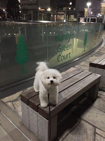 ビションフリーゼ子犬フントヒュッテこいぬ家族募集里親関東_2731.jpg