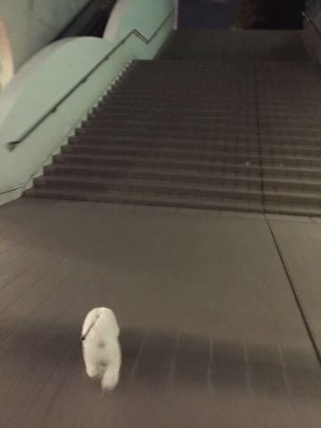 ビションフリーゼ子犬フントヒュッテこいぬ家族募集里親関東_2734.jpg
