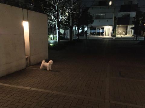 ビションフリーゼ子犬フントヒュッテこいぬ家族募集里親関東_2736.jpg