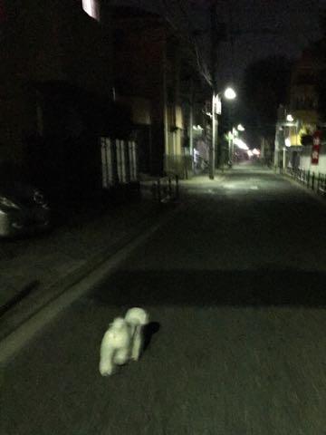 ビションフリーゼ子犬フントヒュッテこいぬ家族募集里親関東_2737.jpg