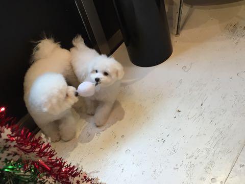 ビションフリーゼ子犬フントヒュッテこいぬ家族募集里親関東_2739.jpg