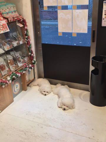 ビションフリーゼ子犬フントヒュッテこいぬ家族募集里親関東_2740.jpg