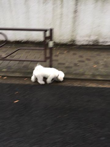 ビションフリーゼ子犬フントヒュッテこいぬ家族募集里親関東_2742.jpg
