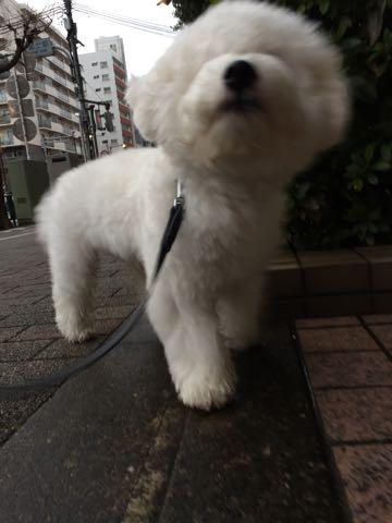 ビションフリーゼ子犬フントヒュッテこいぬ家族募集里親関東_2744.jpg