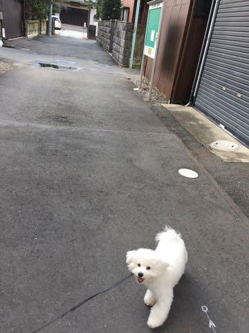 ビションフリーゼ子犬フントヒュッテこいぬ家族募集里親関東_2746.jpg