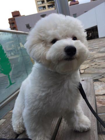 ビションフリーゼ子犬フントヒュッテこいぬ家族募集里親関東_2747.jpg