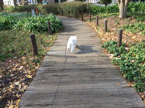 ビションフリーゼ子犬フントヒュッテこいぬ家族募集里親関東_2749.jpg
