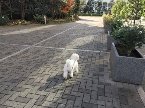 ビションフリーゼ子犬フントヒュッテこいぬ家族募集里親関東_2750.jpg