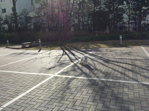 ビションフリーゼ子犬フントヒュッテこいぬ家族募集里親関東_2753.jpg