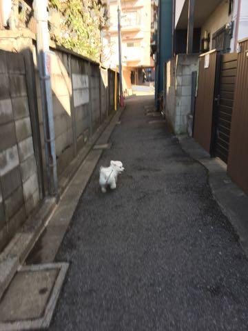 ビションフリーゼ子犬フントヒュッテこいぬ家族募集里親関東_2757.jpg