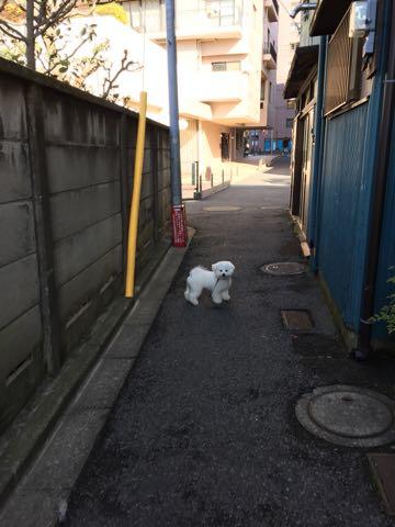 ビションフリーゼ子犬フントヒュッテこいぬ家族募集里親関東_2758.jpg