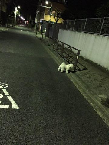 ビションフリーゼ子犬フントヒュッテこいぬ家族募集里親関東_2760.jpg