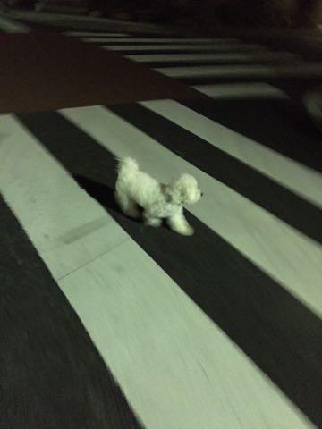ビションフリーゼ子犬フントヒュッテこいぬ家族募集里親関東_2761.jpg