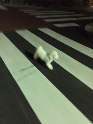 ビションフリーゼ子犬フントヒュッテこいぬ家族募集里親関東_2762.jpg