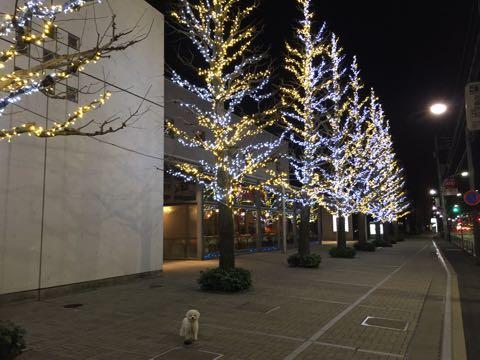 ビションフリーゼ子犬フントヒュッテこいぬ家族募集里親関東_2766.jpg