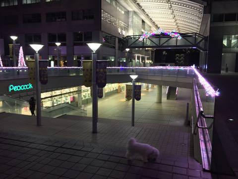 ビションフリーゼ子犬フントヒュッテこいぬ家族募集里親関東_2769.jpg
