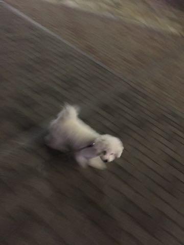 ビションフリーゼ子犬フントヒュッテこいぬ家族募集里親関東_2772.jpg