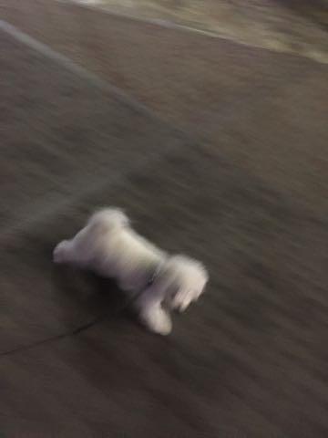 ビションフリーゼ子犬フントヒュッテこいぬ家族募集里親関東_2773.jpg