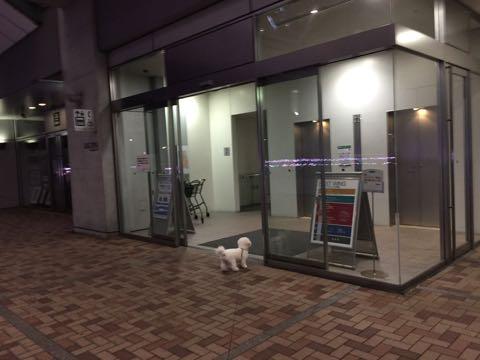 ビションフリーゼ子犬フントヒュッテこいぬ家族募集里親関東_2774.jpg