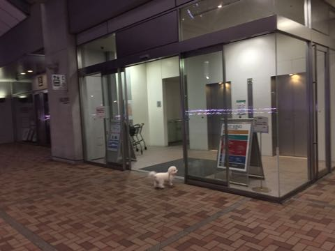ビションフリーゼ子犬フントヒュッテこいぬ家族募集里親関東_2775.jpg