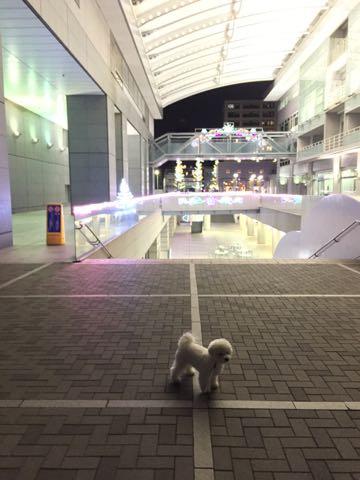 ビションフリーゼ子犬フントヒュッテこいぬ家族募集里親関東_2783.jpg