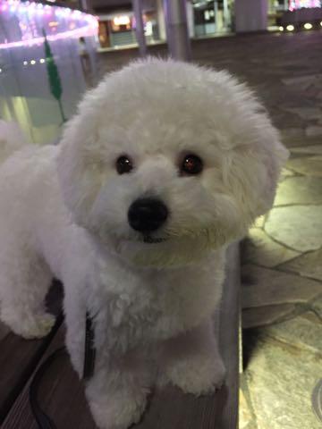 ビションフリーゼ子犬フントヒュッテこいぬ家族募集里親関東_2784.jpg