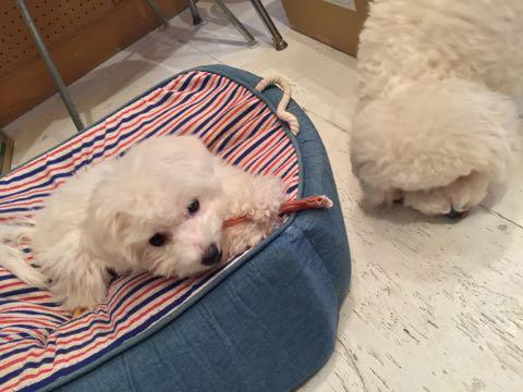 ビションフリーゼ子犬フントヒュッテこいぬ家族募集里親関東_2787.jpg