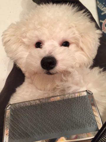 ビションフリーゼ子犬フントヒュッテこいぬ家族募集里親関東_2789.jpg