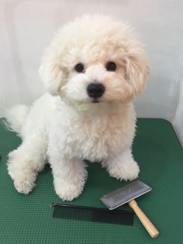 ビションフリーゼ子犬フントヒュッテこいぬ家族募集里親関東_2806.jpg