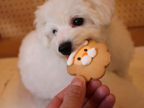 ビションフリーゼ子犬フントヒュッテこいぬ家族募集里親関東_2813.jpg
