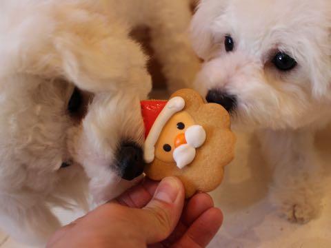 ビションフリーゼ子犬フントヒュッテこいぬ家族募集里親関東_2814.jpg