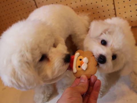 ビションフリーゼ子犬フントヒュッテこいぬ家族募集里親関東_2815.jpg