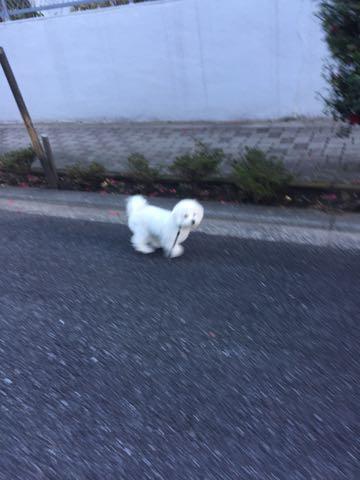 ビションフリーゼ子犬フントヒュッテこいぬ家族募集里親関東_2821.jpg