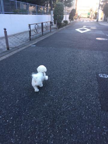 ビションフリーゼ子犬フントヒュッテこいぬ家族募集里親関東_2822.jpg