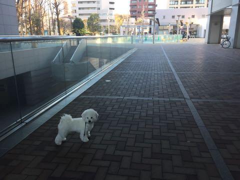 ビションフリーゼ子犬フントヒュッテこいぬ家族募集里親関東_2825.jpg
