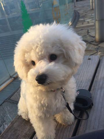 ビションフリーゼ子犬フントヒュッテこいぬ家族募集里親関東_2826.jpg