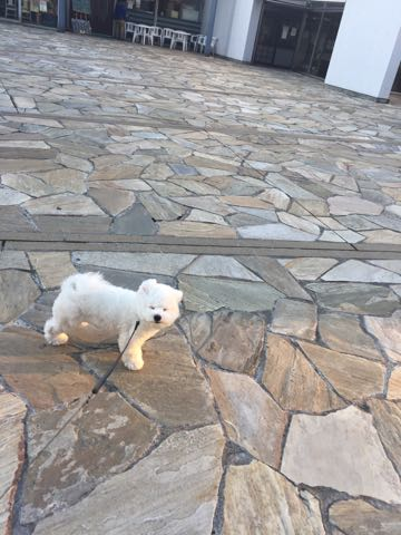 ビションフリーゼ子犬フントヒュッテこいぬ家族募集里親関東_2827.jpg