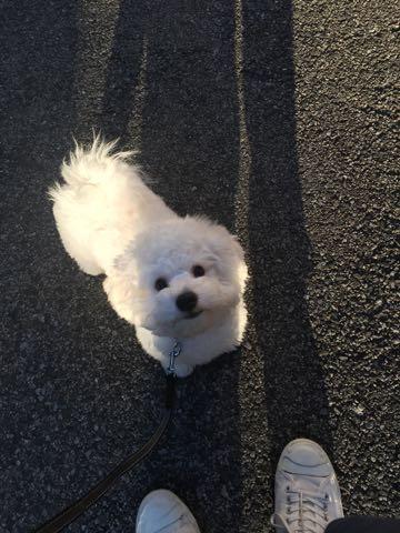 ビションフリーゼ子犬フントヒュッテこいぬ家族募集里親関東_2833.jpg