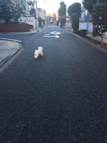 ビションフリーゼ子犬フントヒュッテこいぬ家族募集里親関東_2835.jpg