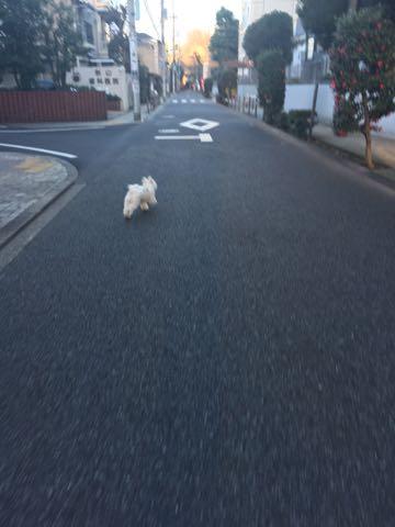 ビションフリーゼ子犬フントヒュッテこいぬ家族募集里親関東_2836.jpg