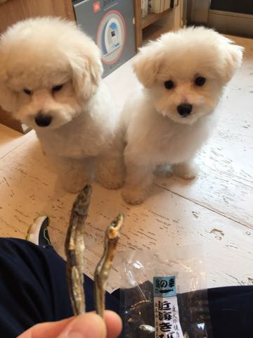 ビションフリーゼ子犬フントヒュッテこいぬ家族募集里親関東_2840.jpg